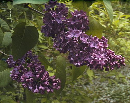 Old fashioned lilac bush