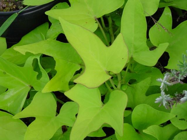 http://www.nathankramer.com/garden/plants/Sweet_potato_vine_%27Chartreuse.jpg