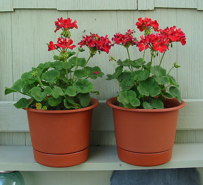 Planting geraniums in pots 28 images geraniums in pots stock photos geraniums in pots stock - Potted autumn flowers ...