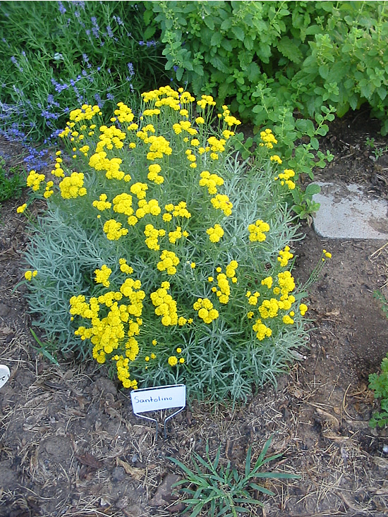 Herb with yellow flowers gallery flower decoration ideas herbs shrubby growth with finely textured deep green foliage and yellow buttonlike flowers use in knot mightylinksfo