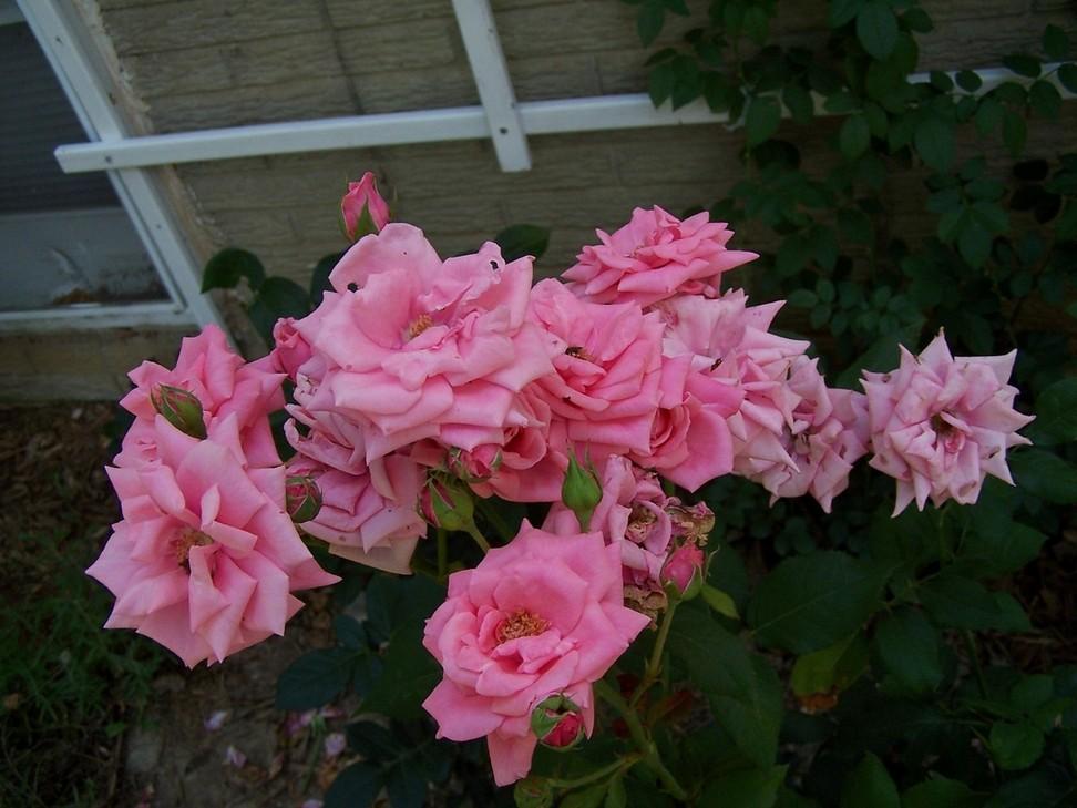 http://www.nathankramer.com/garden/plants/roses/GeneBoerner.jpg