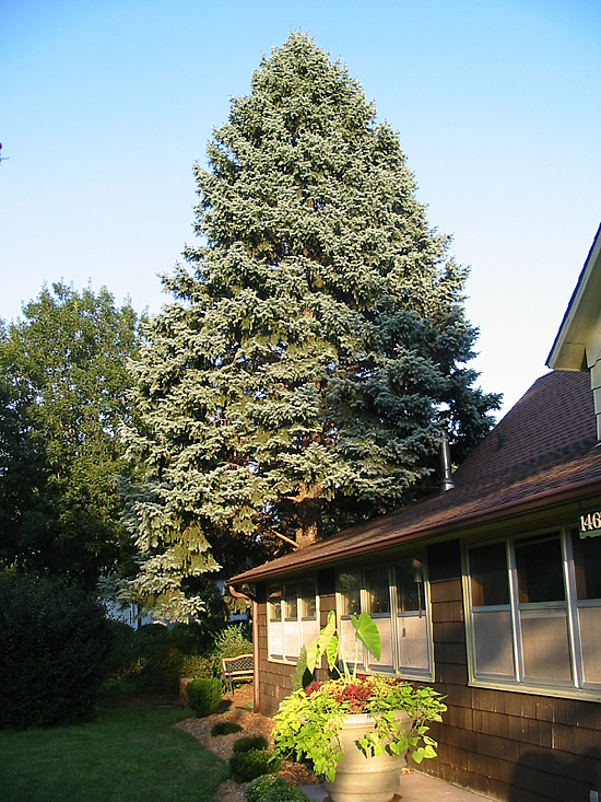 how to make blue spruce more blue