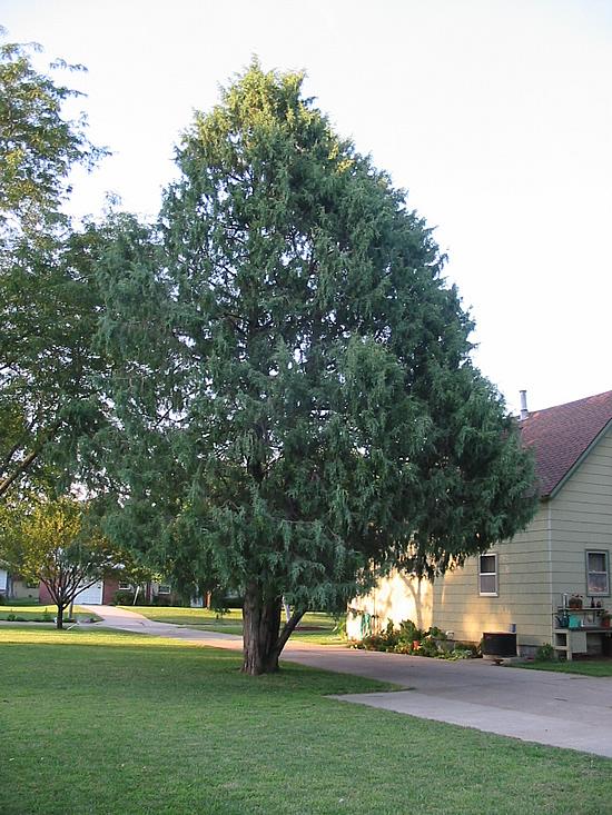 cedar trees pictures. Garden