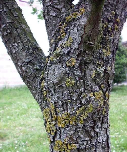 Hawthorn Tree Bark Hawthorn Tree Crataegus