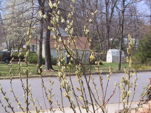 Pussy Willow Shrub 74